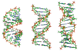 Nucleic acid tertiary structure - The structures of the A-, B-, and Z-DNA double helix structures.
