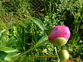 A.rosa.flower9.jpg