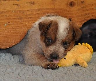 Puppy - Image: ACD Silverbarn's Ronja x