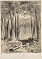 A Sawyer's clearing in a forest of Kauri 1916 8.jpg