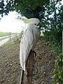 A Sulphur-Crested Cockatoo in Gascony.jpg