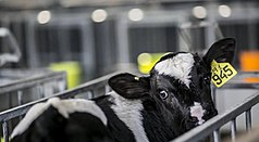 "A tightly cropped image of a black and white calf in a narrow metal cage, facing away but turning its head back towards the camera to show a large yellow tag in its left ear, with ""945"" printed in large letters and ""19.1"" handwritten above. The calf also has a metal clip on its right ear. The cage appears much narrower than the calf's spine is long, preventing it from turning around freely. Out of focus in the background, the fronts of several more cages are visible."