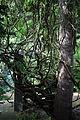 A climber creeper and tree Gibberd Garden Essex England 02.JPG
