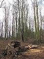 A felled birch - geograph.org.uk - 746979.jpg