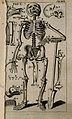 A human skeleton, seen from the front and leaning on a spade Wellcome V0007791ER.jpg