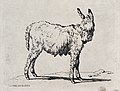 A mule. Etching. Wellcome V0020695.jpg