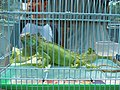 A pet chameleon in cage.jpg