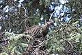 A spruce grouse in a spruce tree (bf5e978c-2d04-44ed-8ecb-3e874e0e2747).jpg