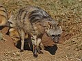 Aardwolf, Proteles cristata, at Lion and Rhino Reserve, Gauteng, South Africa (47987206577).jpg