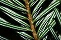Abies alba PID1015-3.jpg