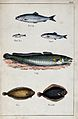 Above, a herring, a white bait and a sprat; below, a ling, a Wellcome V0020753.jpg