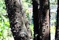 Acacia-cucuyo-(2).jpg