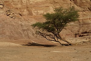 A tree of an unidentified species of Acacia (p...