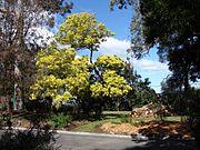 Acacia prominens 1