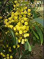 Acacia pycnantha 2.jpg