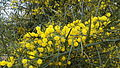 Acacia saligna in Israel - 02.jpg