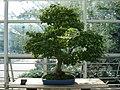 Acer Palmatum bonsai.JPG