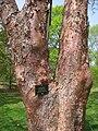 Acer griseum, Arnold Arboretum - IMG 5926.JPG