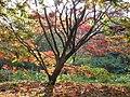 Acer palmatum 'Osakazuki' JPG1a.jpg