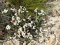 Achyranthemum paniculatum Flipphi 1.jpg