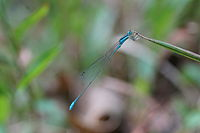 Aciagrion occidentale 01927.jpg