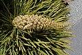 Aciphylla aurea kz5.jpg