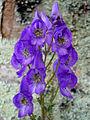 Aconitum carmichaelii 'arendsii' 1.jpg