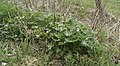 Aconitum napellus Weier- und Winterbach.jpg