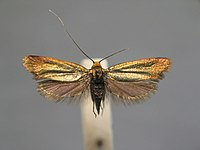 Adela cuprella BE-MK-7-239a.jpg