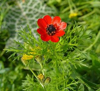 <i>Adonis microcarpa</i> species of plant