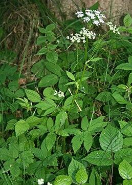 Вигляд квітучої рослини австрія