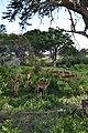 Aepyceros melampus melampus group within shade south of the Salt Lick Game Lodge in the Taita Hills Wildlife Sanctuary, Kenya 5.jpg