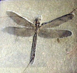 Aeshnoidea - Aeschnogomphus intermedius, a member of the extinct family Aktassiidae, at the Museum für Naturkunde, Berlin