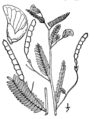 Aeschnyomene virginica drawing.png