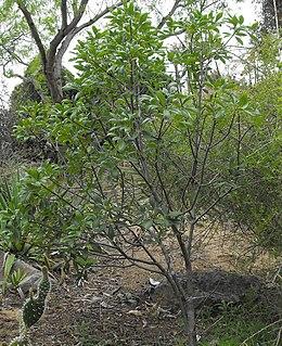 Aesculusparryi