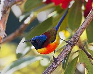 Doi Inthanon National Park - Image: Aethopyga nipalensis male Doi Inthanon