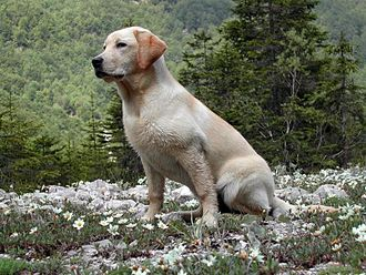 Amelanism - Without melanocortin 1 receptor to signal eumelanin production in melanocytes, this Labrador retriever has a yellow coat. His eyes and skin are normal.