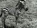 Africa Speaks! (1930) - Zebra.jpg