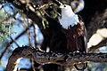 AfricanFishEagle.jpg