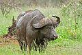 African Buffalo (Syncerus caffer) (16075223413).jpg