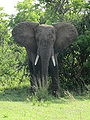 African Bush Elephant in Murchison Falls National Park.JPG