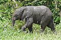 African Elephant (Loxodonta africana) calf (17330902131).jpg