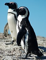 African Penguin at Boulders Beach 1.jpg
