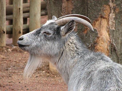 African Pygmy Goat 001
