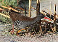 African Rail, Rallus caerulescens at Marievale Nature Reserve, Gauteng, South Africa (21062235599).jpg