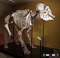 African elephant skeleton at MAV-USP.jpg