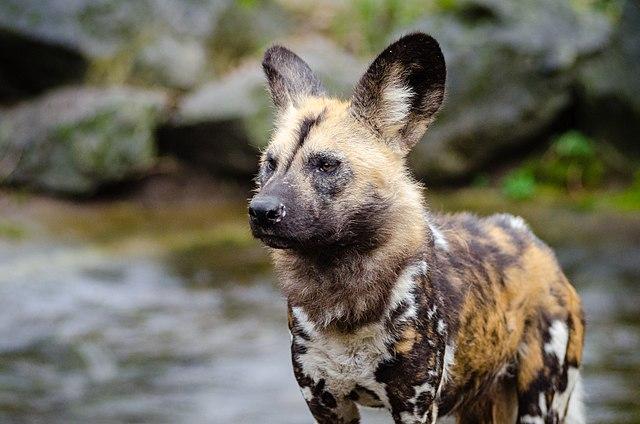 Hyena Hybrid Dog For Sale