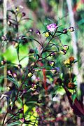 Agalinis tenuifolia.jpg