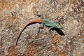 Agama in Blyde River Canyon 04.jpg