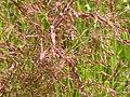 Agrostis stolonifera (3820198417).jpg